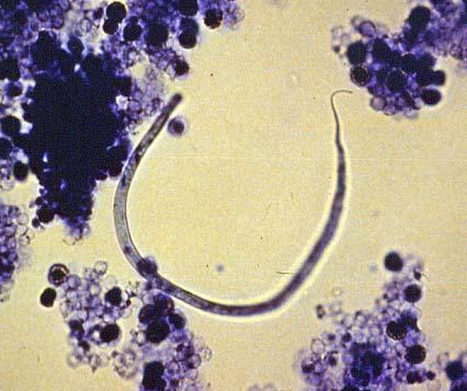 dirofilaria immitis egg - photo #13